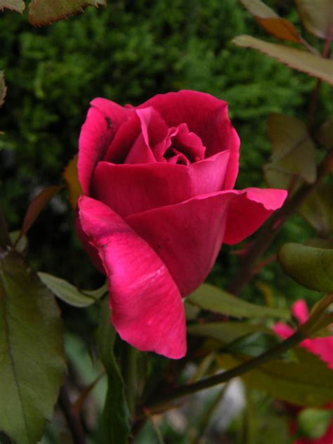 chagne rose single rose bud