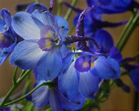 gardensonline delphinium belladonna group