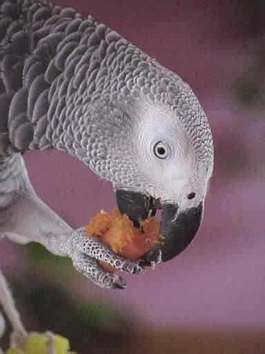 pappagallo cenerino alimentazione il cenerino