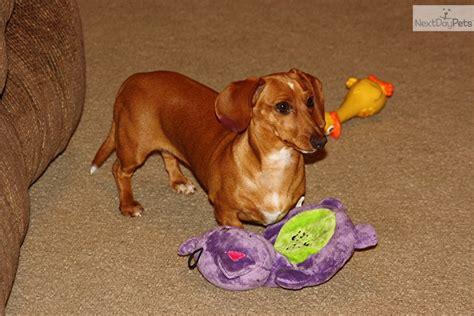 dachshund puppies mn dachshund mini for sale for 150 near minneapolis st paul minnesota 5816de70 8e51