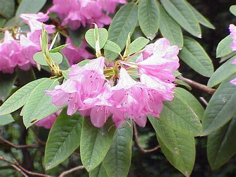 broadleaf evergreen shrubs images