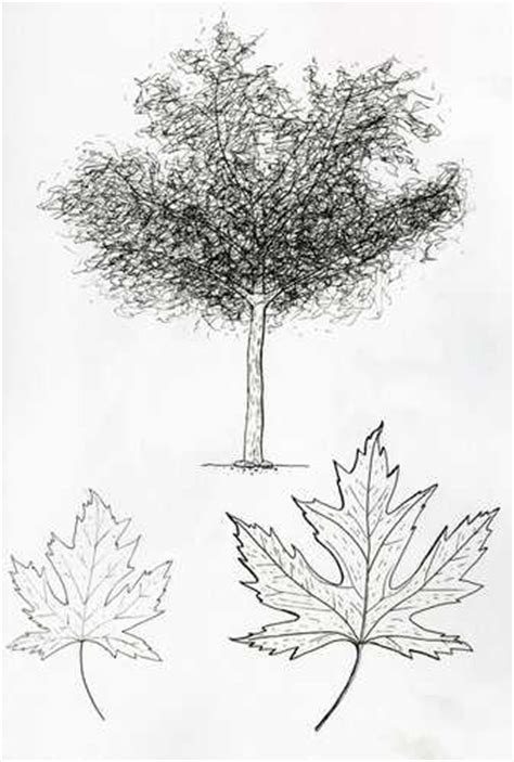 maple tree drawing carleton college cowling arboretum 2008 field drawing class sugar maple by leng sok 10