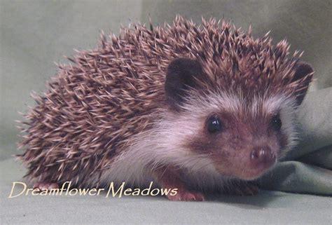 hedgehog colors hedgehog varieties dreamflower