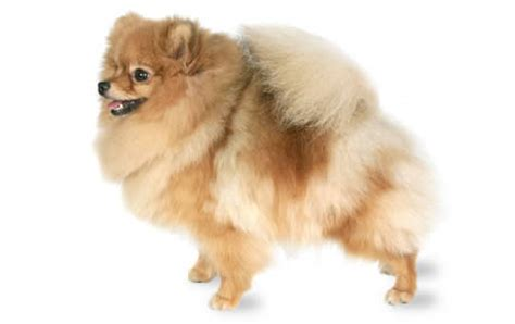 Pomeranian Dog Breed Information, Pictures
