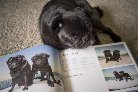 pug rescue perth review pugs of perth coffee table book the pug diary