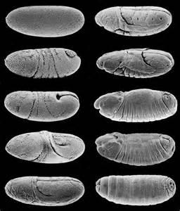 Fred Hutch Parkhurst Lab Embryo