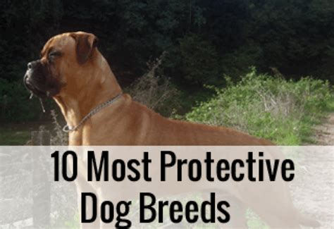 protective breeds most protective breeds security guards companies