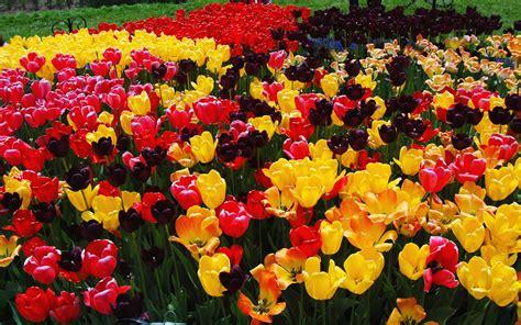 tulip flower garden tulip flower garden hd desktop wallpapers 4k hd