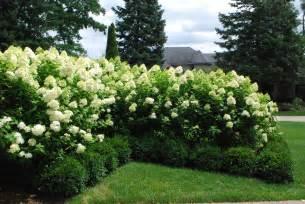 landscaping bushes limelight hydrangeas dirt simple