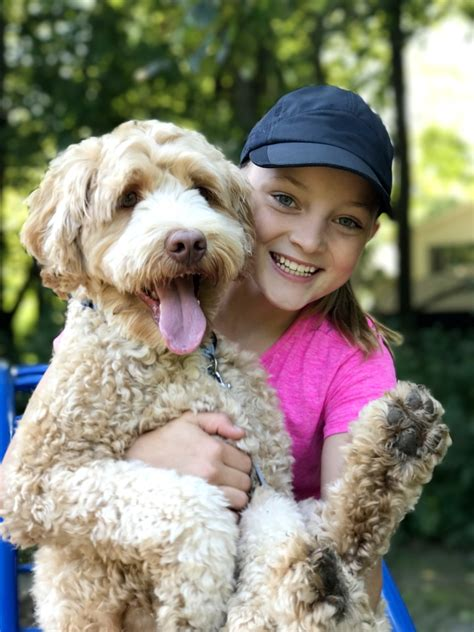how to get your trained as a therapy labradoodle labradoodles