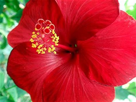 Tanaman Kembang Sepatu All Tipe 1 bunga kembang sepatu