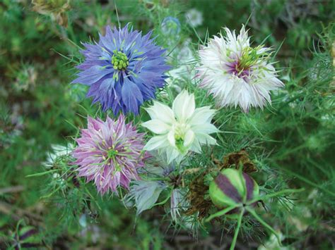 love   mist mixed colors baker creek heirloom seeds