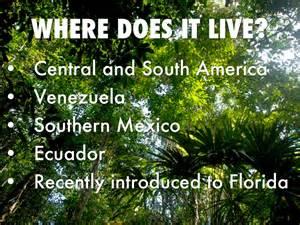 Where Does Live Basilisk Lizard By Annalise Sturno