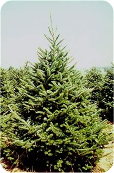 name the real christmas trees at merry christmas com