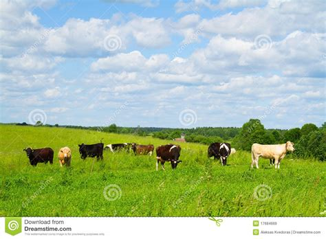 imagenes con movimiento vacas paisaje rural con las vacas imagen de archivo imagen