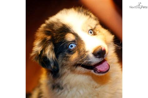 miniature collie puppies for sale miniature border collies www imgkid the image kid has it