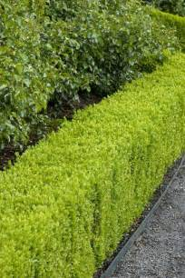 garden hedge types best 25 hedging plants ideas on hedges