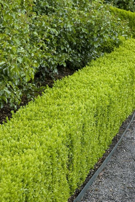 best evergreen hedge best 25 hedging plants ideas on hedges