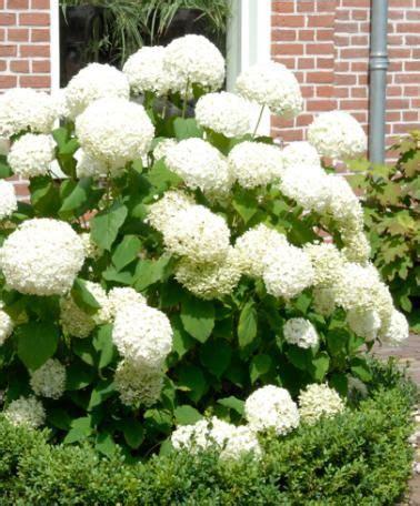 moderne trditionele tuinen schneeball hortensie annabelle for my white garden