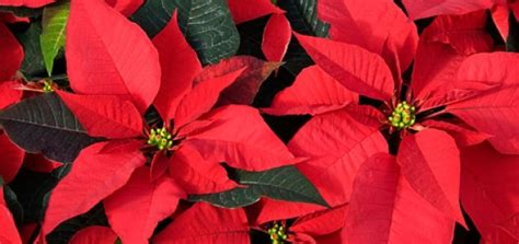 poinsettia and dogs which plants are toxic to dogs modern magazine