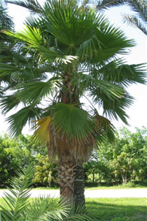 mexican fan palm care how when do i prune a mexican palm tree what should it