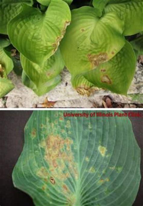 hosta diseases shade gardening pinterest illinois