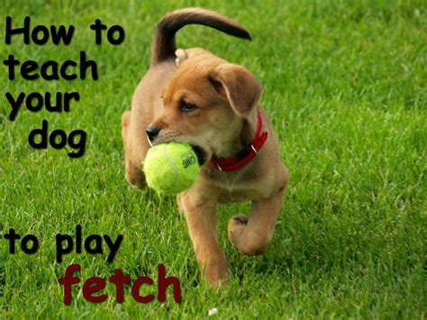 how to a to fetch a tips on how to teach your to play fetch