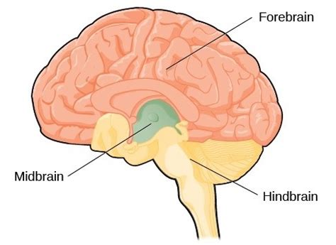 three main sections of the brain what are the 3 main sections of the human brain called and