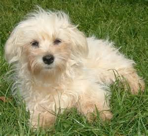 references photos thomas kennel maltese poodles ungroomed schnauzer photos
