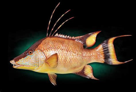 hogfish images hogfish gallery