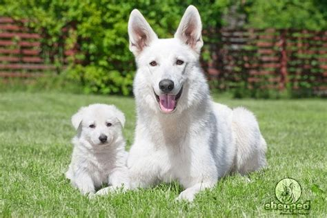 all white german shepherd puppies image gallery white gsd