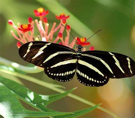 imagenes mariposas raras lista las 12 mariposas m 225 s fascinantes del mundo
