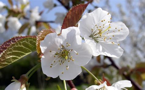 Cherry White in early there is a tree that blooms and has
