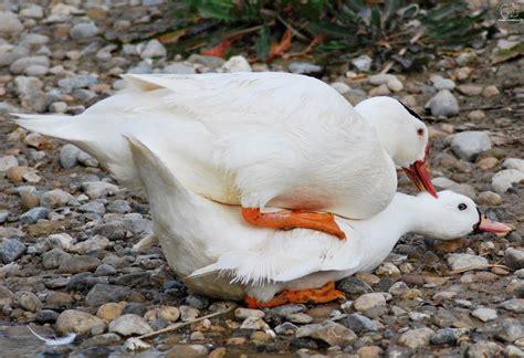 pato abrigo   cachorro  sus alas antes de morir