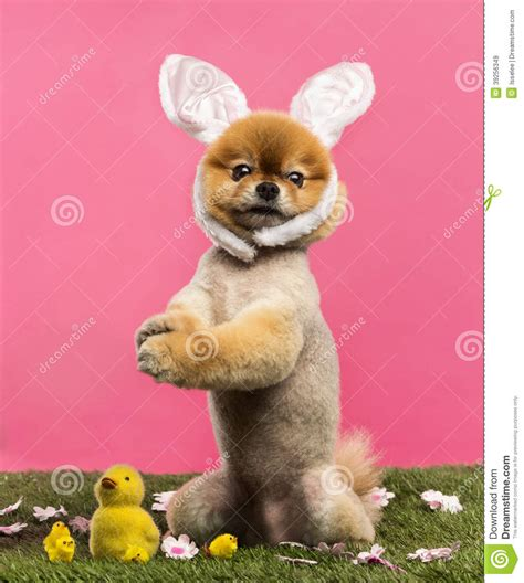 pomeranian hind legs groomed pomeranian standing in grass on hind legs and wearin stock photo image