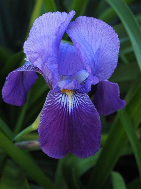 il fiore iris iris fleur 183 photo gratuite sur pixabay