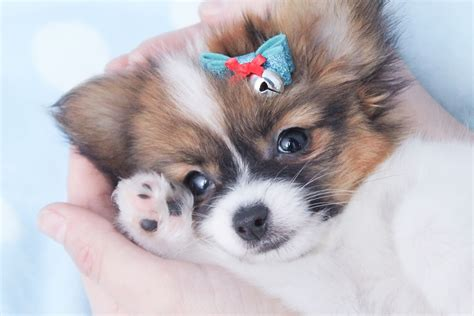 papillon price papillon breeders papillon rescued and puppies for sale