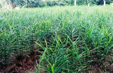 Bibit Jahe Merah Di Aceh cara menanam jahe di lahan tanah 12 tahap dimusim hujan