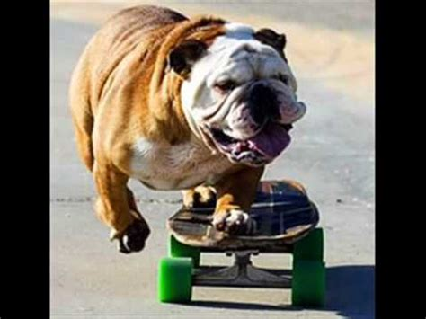 imagenes graciosas bulldog ingles el bulldog ingl 233 s un payaso en potencia youtube