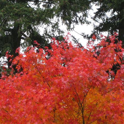 acer palmatum cascade buy orange weeping japanese maple trees
