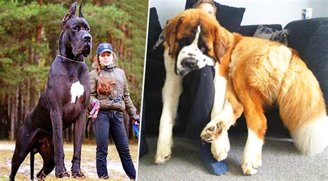 big puppy 11 big dogs who are puppies at they forgot that they re big