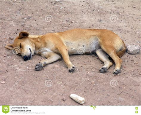 when do puppies ears open open stock photo image 74290730