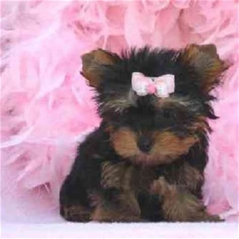 cheap teacup yorkies for sale in color cc99cc litle pups