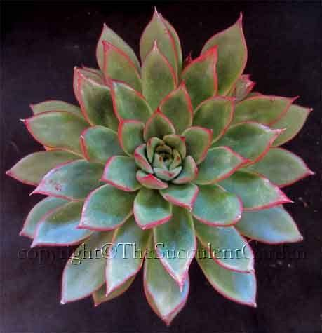 desert rose tattoo 416 best succulents with names images on