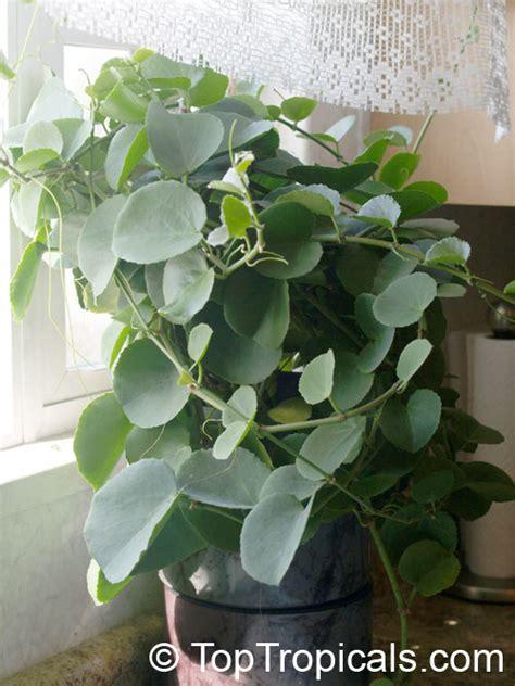 cissus rotundifolia arabian wax leaf peruvian grape ivy