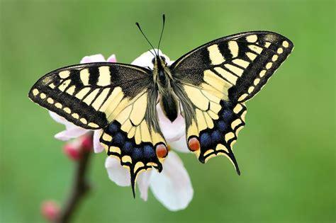 imagenes de mariposas negras grandes borboletas corpo das borboletas t 243 rax e abd 243 men das