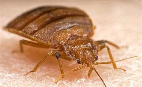 what diseases do bed bugs carry alive you are a bed bug magnet says loyola specialist