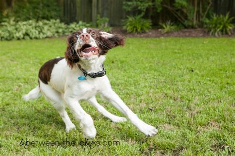 springer spaniel puppies nc brody the springer spaniel carolina pet photography in between the