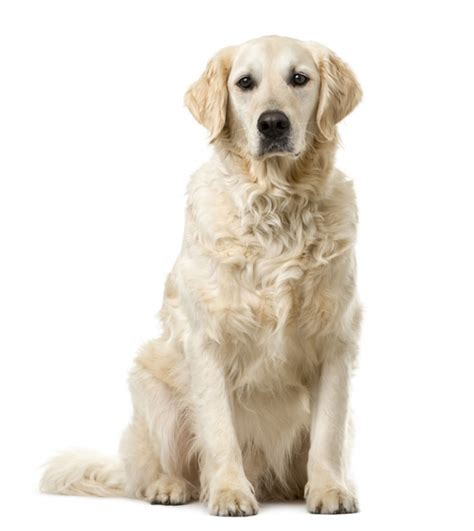 chien golden retriever golden retriever caract 232 re 233 ducation sant 233 entretien