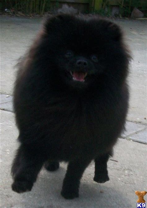 pomeranian puppies for sale in kent pomeranian puppies for sale uk kent